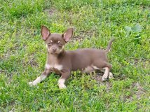 Full Blooded Chihuahua in Fort Leonard Wood, Missouri