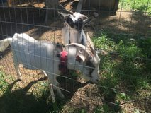 Nigerian dwarf goats male and female tricolor friendly must stay together in Fort Leonard Wood, Missouri