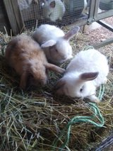 Mini lop bunnies in Fort Leonard Wood, Missouri