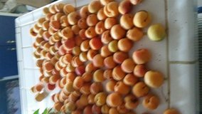 APRICOTS ARE READY in Yucca Valley, California