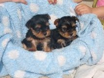 Best Quality Teacup yorkie Puppies in Baytown, Texas