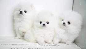 Extremely white teacup Pomeranian puppies in Naperville, Illinois
