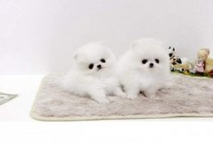 House raised and very playful  Teacup Pomeranian Puppies in Bellaire, Texas