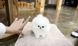 Cute amazing Teacup Size Pomeranian Puppies available in Chicago, Illinois
