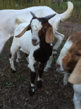 Boer And Nubian Goats For Sale. in Leesville, Louisiana