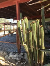 Golden Torch and Blue Agave for sale in Yucca Valley, California