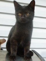 Two black British shorthair mix kittens in Fort Wayne, Indiana
