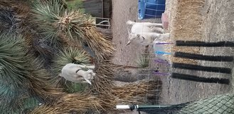 3 Nigerian Dwarf goats in Yucca Valley, California
