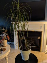 tropical house plant in Naperville, Illinois
