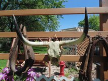 TEXAS STEER SKULL in Naperville, Illinois