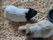2 Guinea Pigs with everything. in Naperville, Illinois