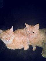 Need Pet Sitter for my 2 Cats  9 Aug - 26 Aug in Stuttgart, GE