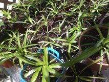 Spider Plants complete with dirt and pot All Green Chlorophylum Comosum Variegatum in Bartlett, Illinois