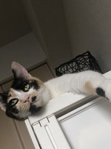 declawed  female MIKE-cat 4 years old in Okinawa, Japan