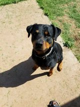 Rottweiler needs to a new home in Lawton, Oklahoma