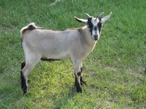 male baby goat in Baytown, Texas