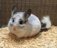 SUMMER FIRE SALE @ NWI Chinchillas!  Prices Slashed! in Chicago, Illinois