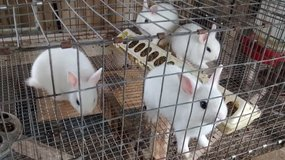 Dwarf Hotot Bunnies in DeRidder, Louisiana