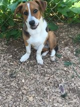 9 month old female beagle mix in Fort Campbell, Kentucky