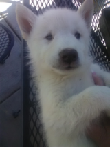 1 husky/greywolf pup in Camp Pendleton, California