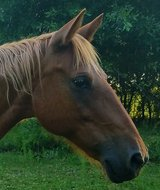 Tennessee Walker  mare in DeRidder, Louisiana