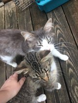 2 Male cats one year old in Fort Leonard Wood, Missouri