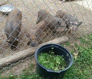 Mini Potbelly Piglets Striped & Striped with a few Spots Available in Fort Gordon, Georgia