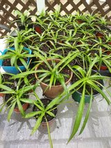 Spider Plants in pots Chlorophylum Variegatum Solid Green in Naperville, Illinois