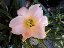 "Daylily, ""Sugar Dandy"" in Warner Robins, Georgia"