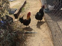 Chicken hens/roos in Yucca Valley, California