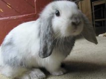 ISO HOLLAND LOP DOE in Lawton, Oklahoma