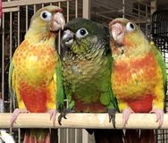 Green cheek conure in Westmont, Illinois