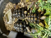 Red foot tortoises in Westmont, Illinois