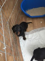 Beautiful Dachshund Puppies in Los Angeles, California