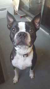 Boston Terrier in Camp Pendleton, California
