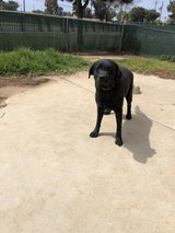 Full blooded black lab in Oceanside, California