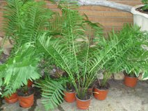 perrenial ferns in St. Charles, Illinois