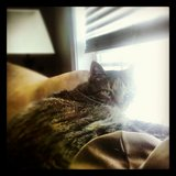 Adult Cat in Tinley Park, Illinois