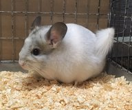 4 Month Old White Mosaic Female Chinchilla Kit (Baby) in Chicago, Illinois