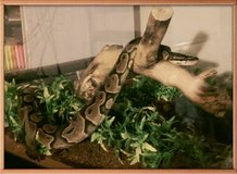 6 yr female ball python, 40 gal enclosure, heat panel, accessories. in Yucca Valley, California