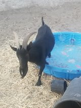Pygmy Goat in Yucca Valley, California