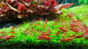 Cherry Shrimp in Ramstein, Germany