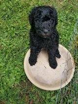 Standard Poodle Puppies in Pleasant View, Tennessee
