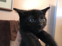 Free kittens to loving homes in Vacaville, California