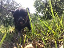 Mini Pigs in Fort Polk, Louisiana