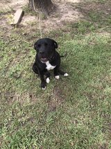 pit/lab mix in Lake Charles, Louisiana
