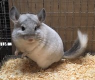 4.5 Month Old White Sapphire Male Chinchilla Kit (Baby) in Chicago, Illinois