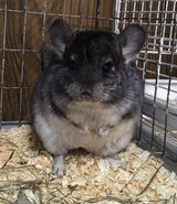 5 Month Old Standard Grey Male Chinchilla -- hilarious personality! in Chicago, Illinois