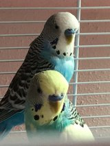 2 Parakeets with cage and accessories in Ramstein, Germany