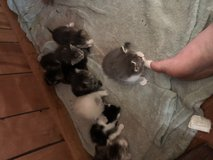 Free kittens to a good home!! in DeRidder, Louisiana